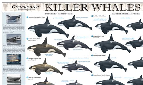 what color are whales quot why are there so many different types of killer whales