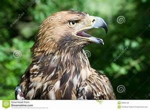 Hawk's Head With Open Beak Royalty Free Stock Images ...