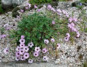 geranium vivace planter et tailler ooreka With modeles de rocailles jardin 9 thym planter et tailler ooreka