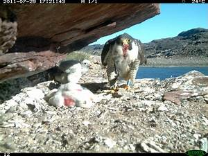 Spying on Arctic peregrine falcons | Wildlife Biology
