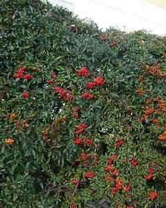 Immergrüne Hecke Pflegeleicht : feuerdorn 39 red column 39 feuerdorn pyracantha immergr ne heckenpflanzen heckenpflanzen ~ Markanthonyermac.com Haus und Dekorationen