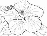 Coloring Flowers Spring Hibiscus Flower sketch template