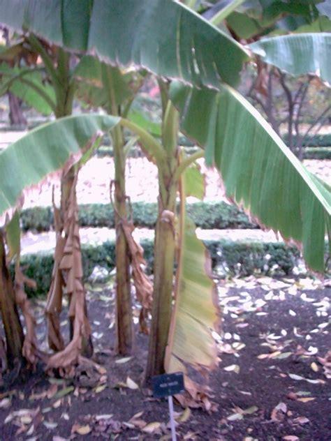 bananier d int 233 rieur musa entretien arrosage rempotage