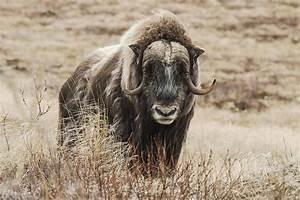 Tundra Animals The Reality Of Musk Oxen Mnn Mother Nature Network