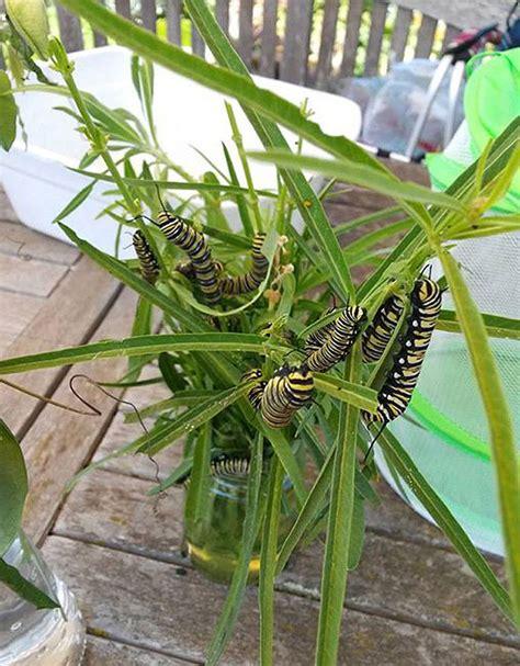 asclepias fascicularis narrow leaved milkweed buy