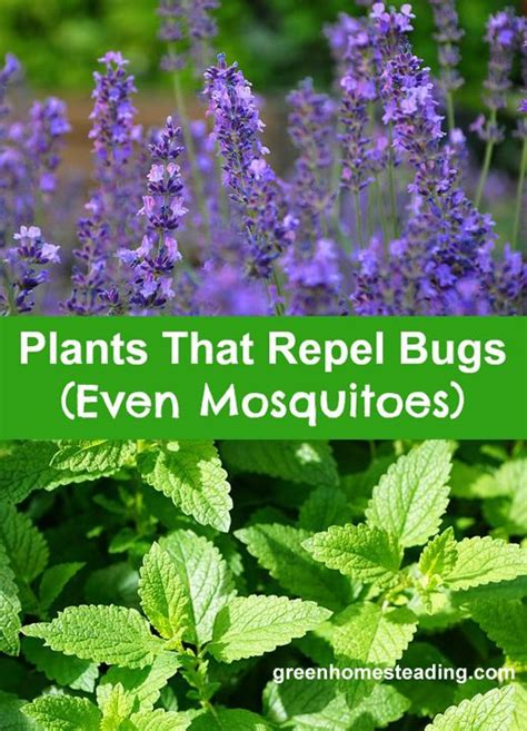 plants that mosquitoes 17 best images about landscaping on pinterest gardens hydrangea flower and types of hydrangeas