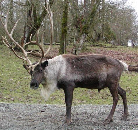 reindeer mating pictures  images