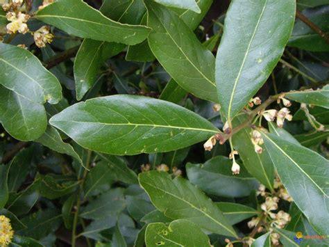 plante aromatique cuisine photo feuille de laurier sauce
