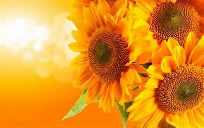 Sunflower Wallpapers Desktop Sunflowers Background Backgrounds Sun