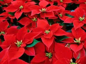 poinsettia flower christmas flower