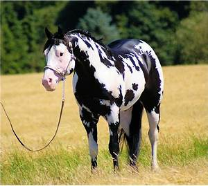 black & white Overo paint horse | Horses | Pinterest ...