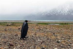 All-black penguin discovered