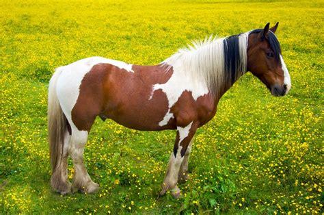 horse  pony basics colours types  markings
