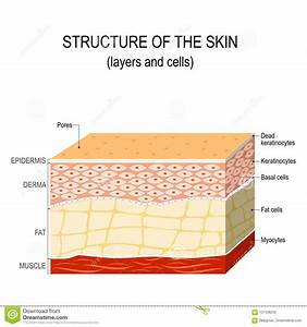 Layers Of Human Skin  Melanocyte And Melanin Vector