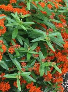 Asclepias tuberosa (butterfly milkweed): Go Botany