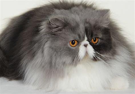 le canapé chats persan aveyron