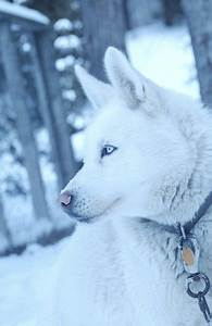 White Siberian Husky Information   Dog Care - Daily Puppy