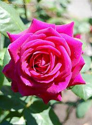 Big Purple Hybrid Tea Rose