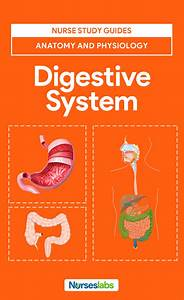 Digestive System Anatomy And Physiology