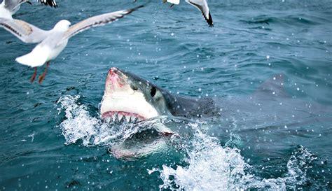 adaptations   great white shark fun facts