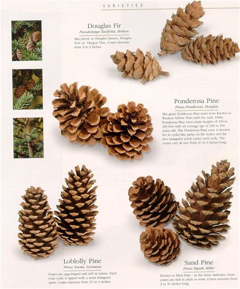 25 unique pine cone seeds ideas on pinterest pine seeds