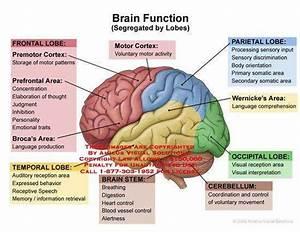 Brain Diagram Lobes
