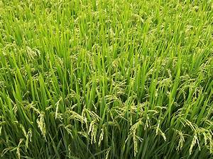 rice fields spikes - rice