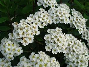 Small white flower clusters   allispossible.org.uk   Flickr