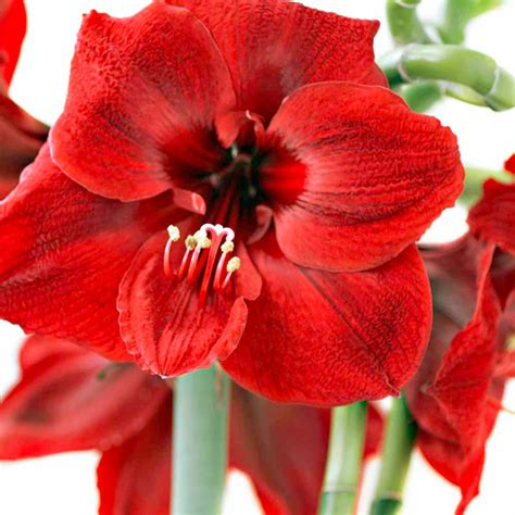 flowers for flower amaryllis flower bulb