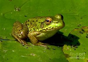 Frog On A Lily Pad Photograph by Inspired Nature ...