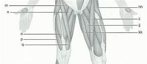 Print Exercise 15  Gross Anatomy Of The Muscular System