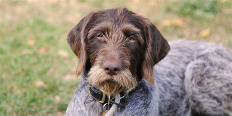 German Wirehaired Pointer Shed by 100 German Shorthaired Pointer Shed German