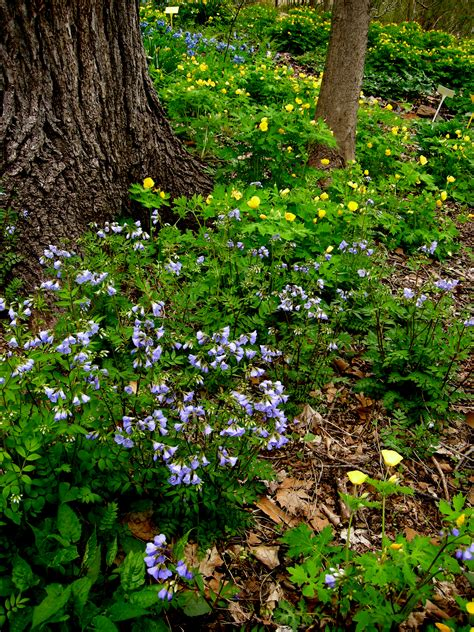 creeping phlox carolyns shade gardens