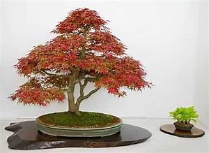 Bonsai Baum Arten : acer palmatum f cherahorn bonsai bonsai pinterest baum ~ Michelbontemps.com Haus und Dekorationen