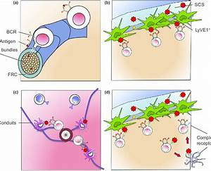 Specific Features Of Lymph Node Architecture  U2013  A  The