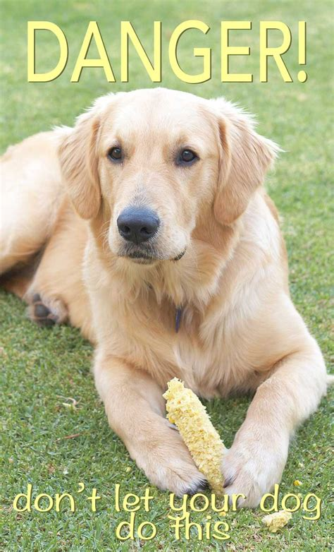 can dogs eat corn cobs can dogs eat corn a food safety guide from the labrador site