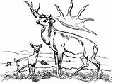 Elk Coloring Pages Bull Sketch Template sketch template