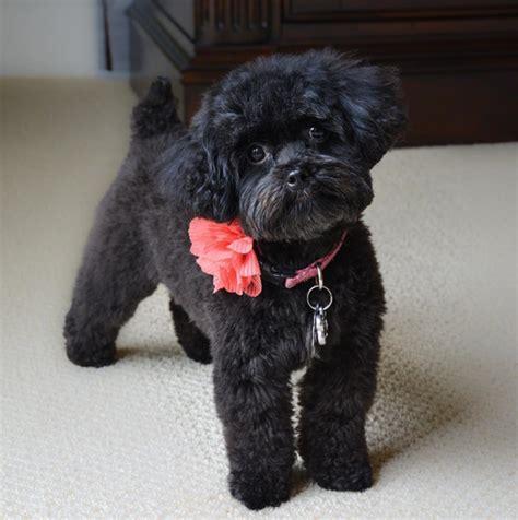 pekingese toy poodle wow blog