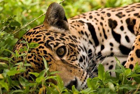 How Are Jaguars Endangered by Jaguar Endangered Cats