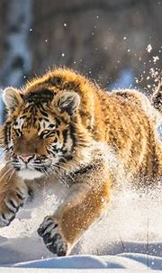 Cute Tiger Cub Running, HD Animals, 4k Wallpapers, Images ...