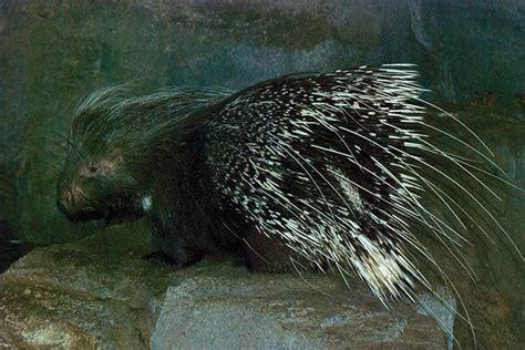 porcupine quills imgs for gt porcupine quills