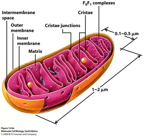 What Are The Similarities And Differences Between Chloroplasts And Mitochondria? Quora