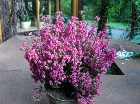 erika pflanze winterhart floristik chemnitz blumengruss schenken