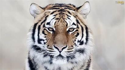 Tigre Parede Papel Wallpapers Osmais