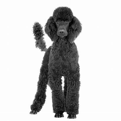 Poodle Transparent Pngio