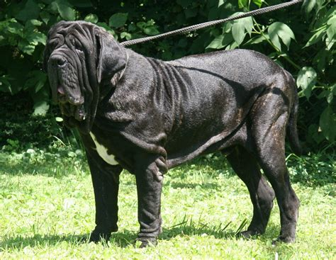 The feet are really screwy, which is something you see in neapolitan mastiffs. Neapolitan Mastiff Wallpapers Images Photos Pictures ...