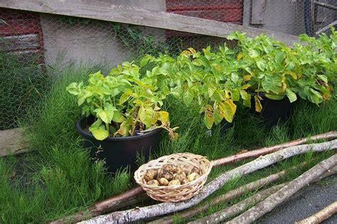 kartoffeln wann pflanzen kartoffeln selber anbauen gartentipps tricks f r jede