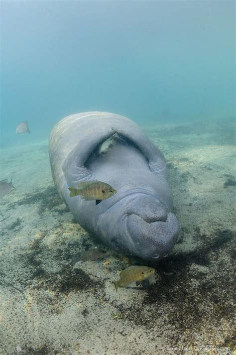 Manatee Sleeps With The Fishes By Carol Grant