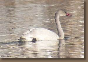 Tundra Swan Vs Trumpeter Swan