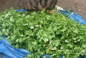 Dhania (Coriander) farming, from seedling to harvesting ...